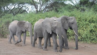 Photo of Elephants low-frequency calls
